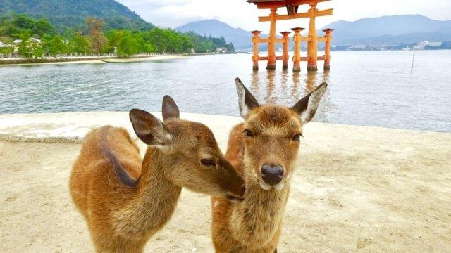 厳島神社の鹿